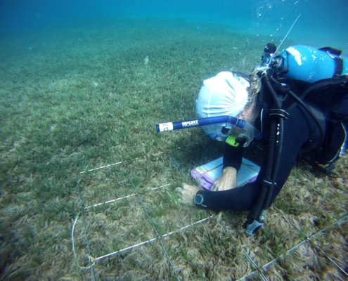 Vaughn counting seagrass turions